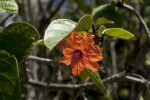 Orange, Ruffled Flower at Biscayne National Park