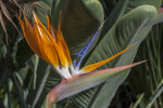 Orange Sepals of a Bird of Paradise Flower