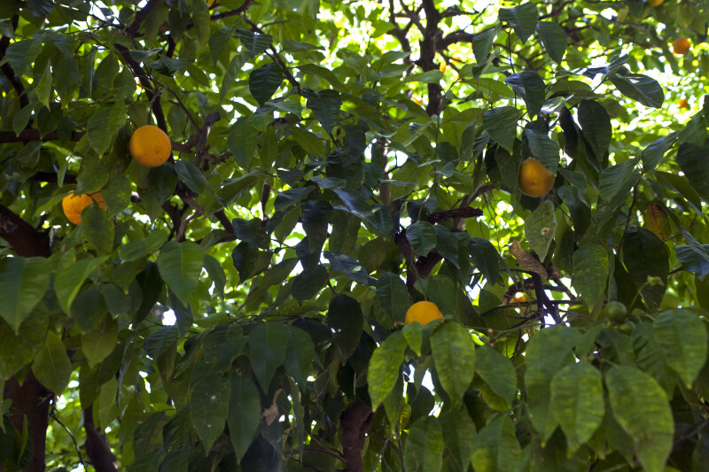 Orange Tree Leaves and Fruit