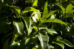 Orange Tree Leaves and Unripe Oranges