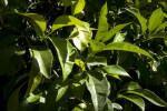 Orange Tree Leaves and Unripe Oranges