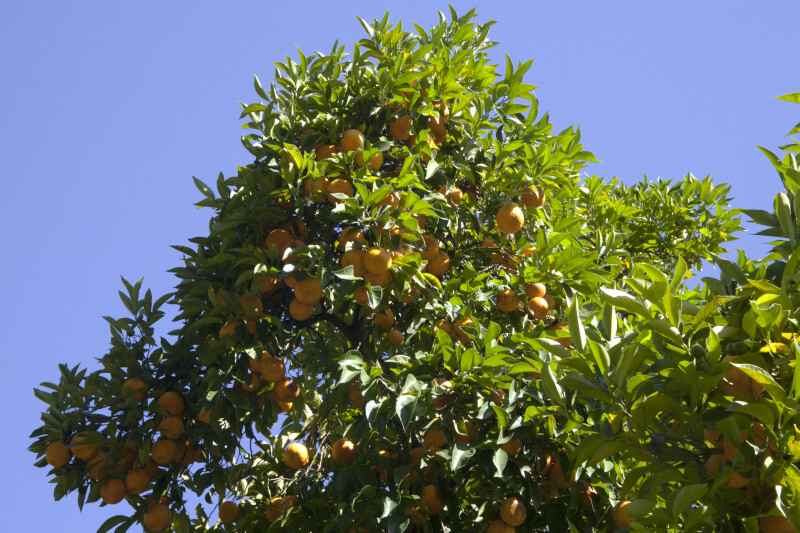 Orange Tree With Cluster of Fruit