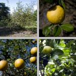 Orange Trees photographs
