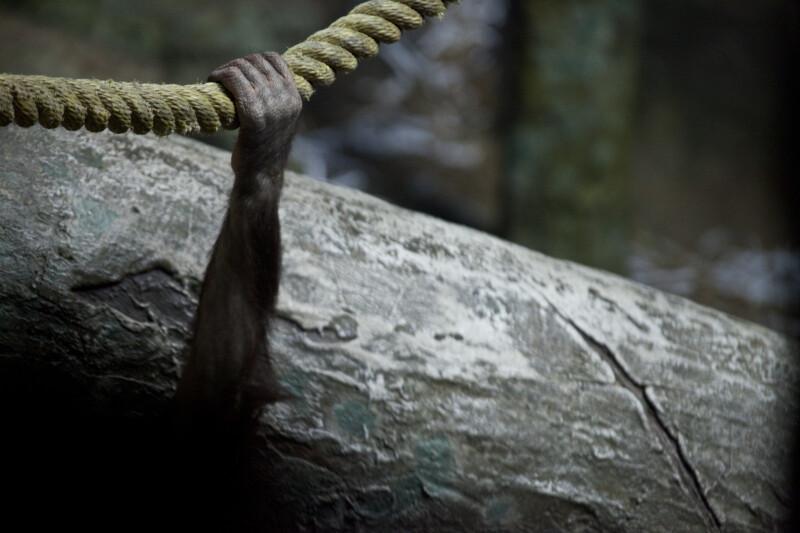 Orangutan Hand