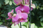Orchid Flowers and Buds