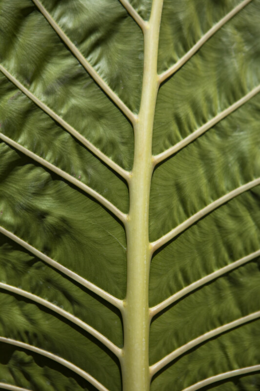 Orchid Leaf