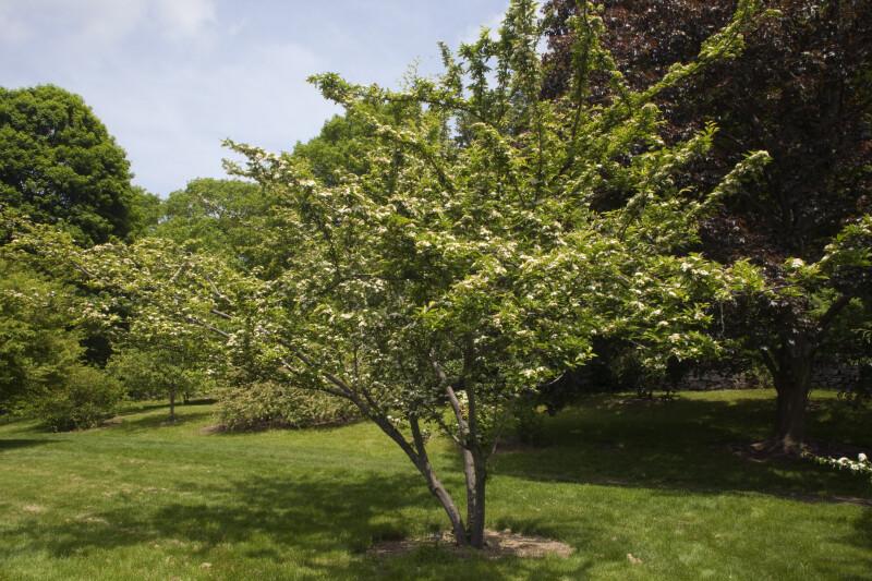 Oriental Photinia Tree