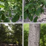 Oriental Photinia Trees photographs