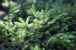 Oriental Spruce Close-Up