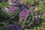 Ornamental Kale at the Alamo Convento Garden