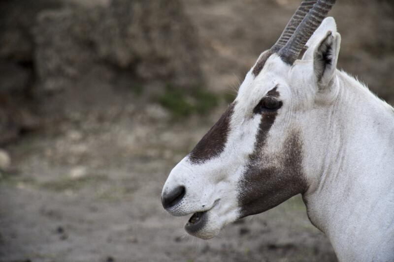 Oryx's Head