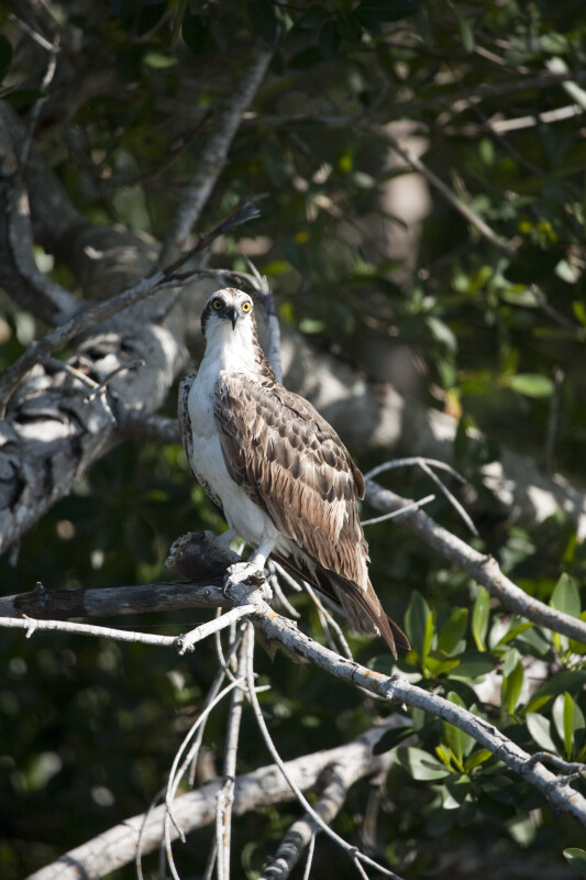 Osprey at Buttonwood Canal