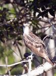 Osprey Standing on a Branch