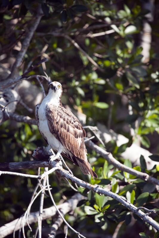 Osprey with Head Tilted