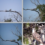 Osprey photographs