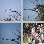 Osprey photographs