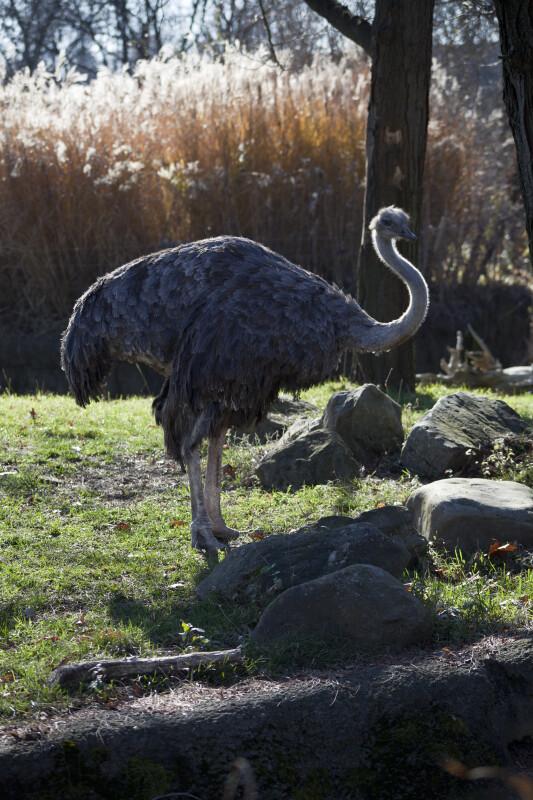 Ostrich by Rocks