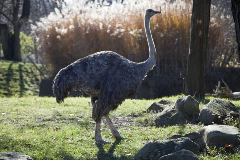 Ostrich Side