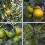 Other Citrus Crops photographs