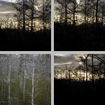 Other Conifers photographs