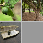 Other Fruit Crops photographs