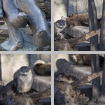 Otters photographs