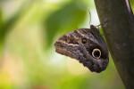 Owl Butterfly on a Tree