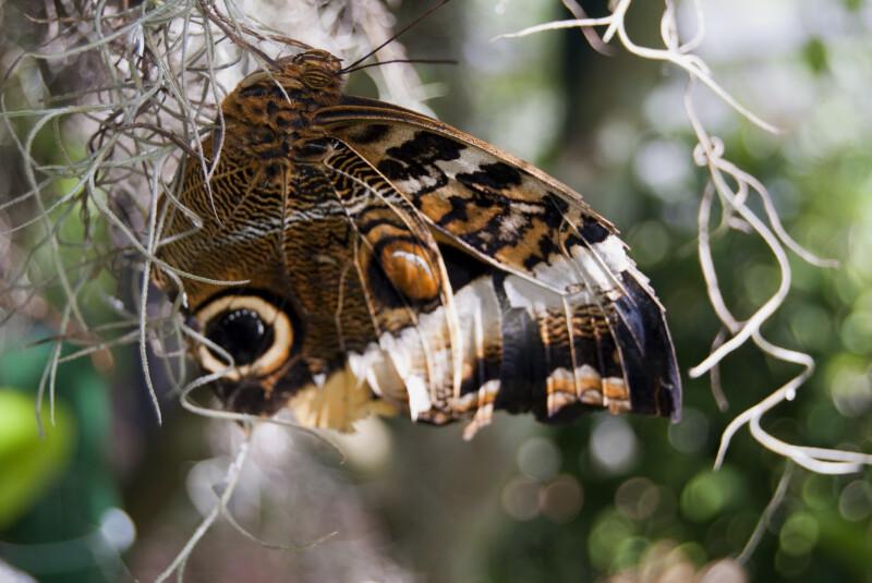 Owl Butterfly on Moss