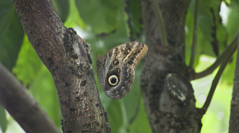 Owl Butterfly on the Branch of a Tree at the Artis Royal Zoo