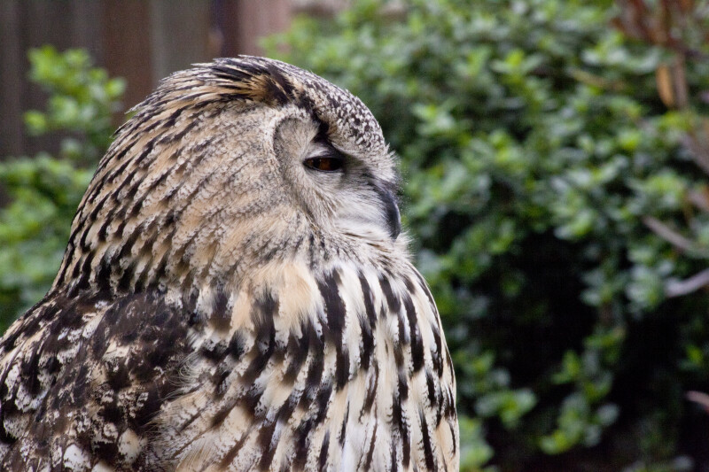 Owl Closing its Eyes