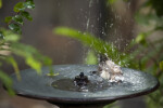 Owl Finch Bathing