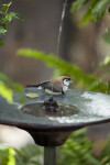 Owl Finch in Bird Bath