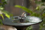Owl Finch in Fountain