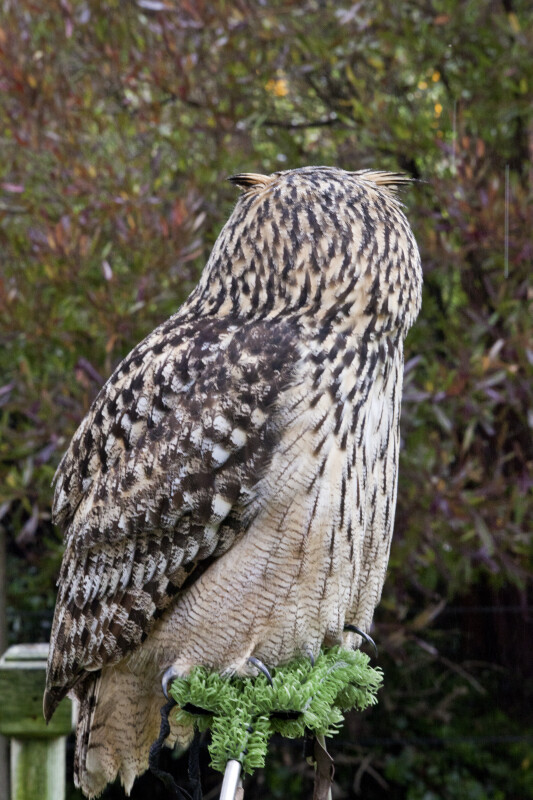 Owl with Head Turned