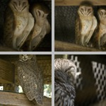 Owls photographs