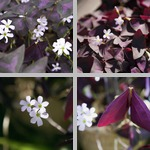 Oxalis Plants photographs