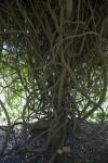 Oxera pulchella Branches