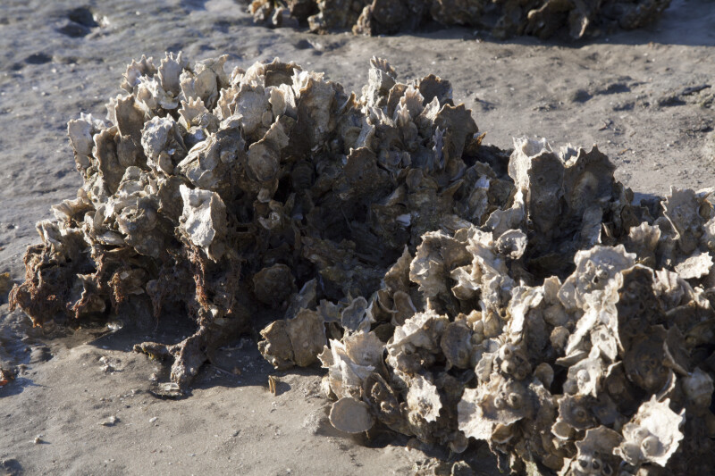 Oyster Shell Cluster on the Shoreline at Fort Matanzas