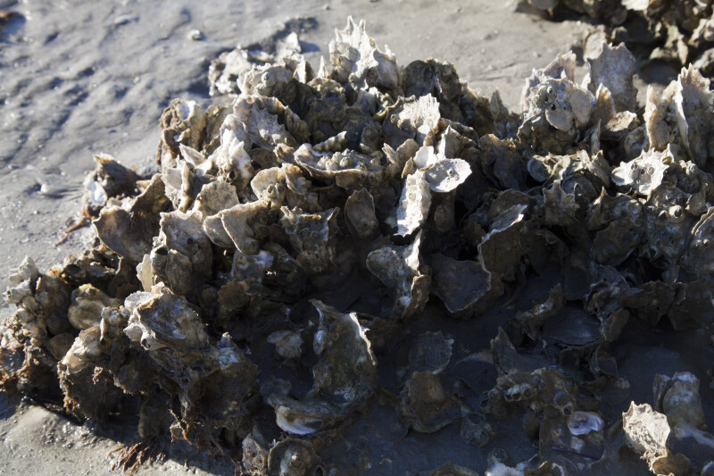 Oyster Shells on the Shoreline at Fort Matanzas