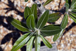 Pachypodium baronii var. baronii Leaves