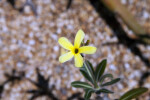 Pachypodium baronii var. baronii Yellow Flower