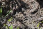 Pachypodium lamerei forma cristata Spines