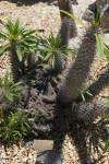 Pachypodium lamerei forma cristata