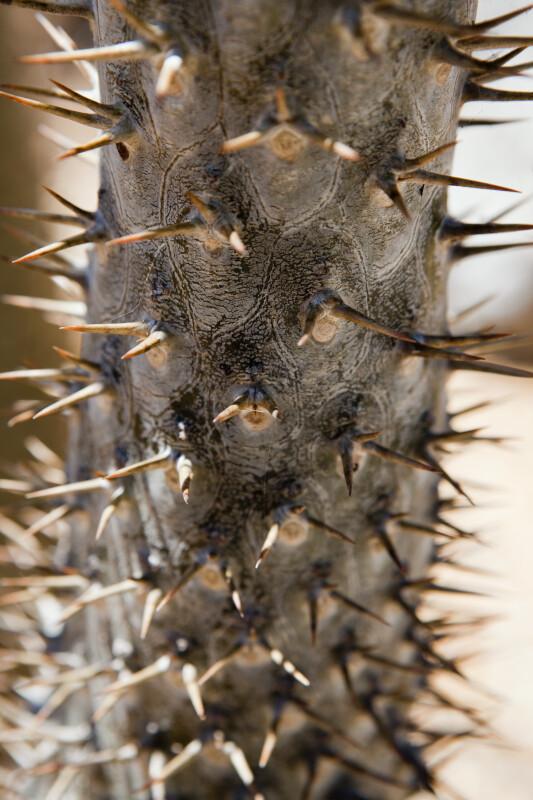 Pachypodium lamerei Spines
