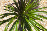 Pachypodium lamerei var. ramosum Leaves