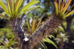 Pachypodium lamerei var. ramosum Prickles