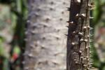 Pachypodium rutenbergianum Prickles