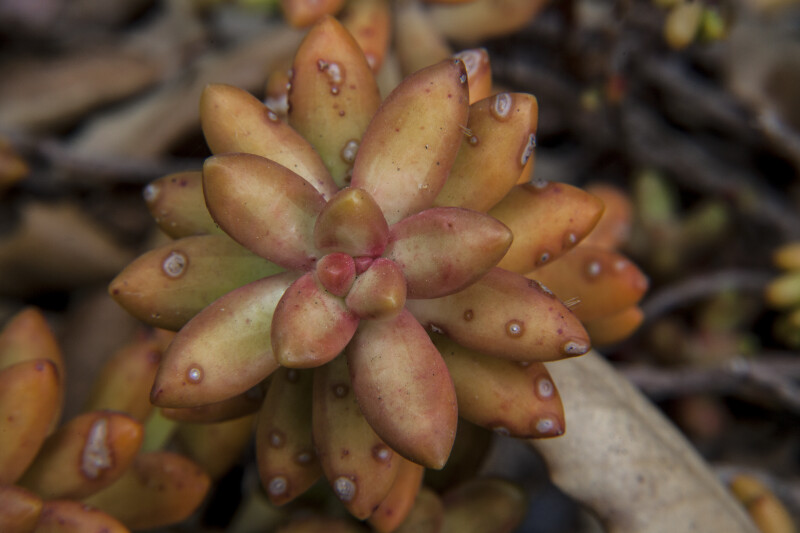 Padded Leaves of a Succulent Plant at the Rancho Los Alamitos Historic Ranch and Gardens