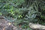 Padre Fir Branches