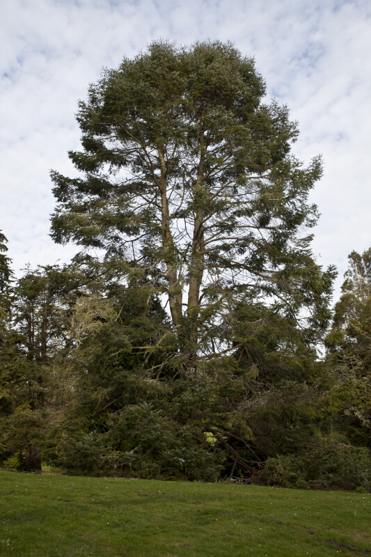 Padre Fir Tree